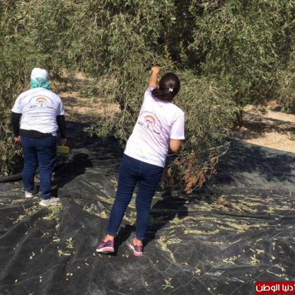 """المكتب الوطني للدفاع عن الأرض ينظم يوماً تطوعياً لقطف """"الزيتون"""" في سبسطية"""