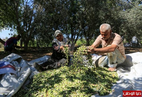 أخطاء شائعة خلال موسم قطف الزيتون وتخزين الزيت
