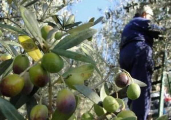 المستوطنون يعتدون بقضبان حديدية على حاخامات شاركوا بجني الزيتون بالضفة الغربية
