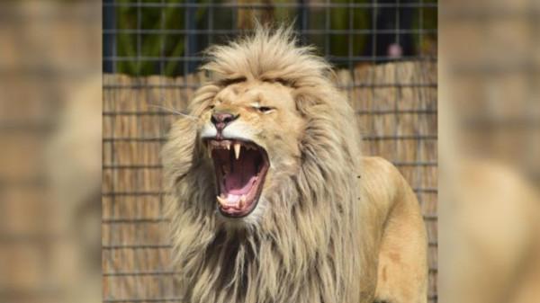 شاهد: زائر يدخل عرين الأسد في حديقة الحيوان لاستفزازه