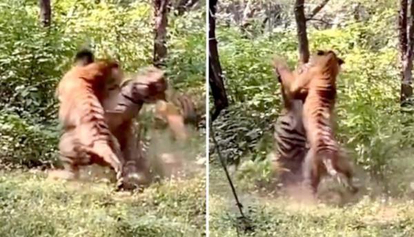شاهد: عراك عنيف بين نمرين في إحدى الغابات بسبب أنثى