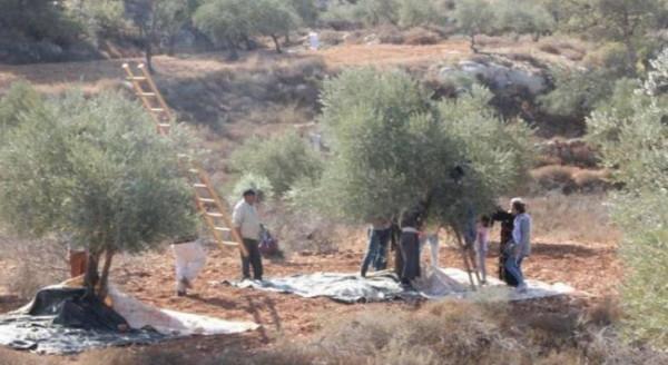 لليوم الرابع.. الاحتلال يَطرد قاطفي الزيتون من أراضيهم جنوب نابلس