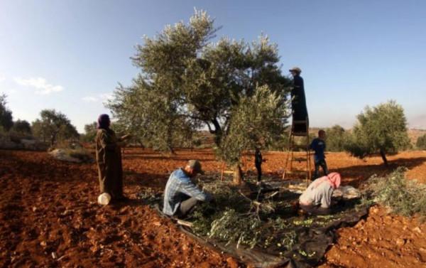 مستوطنون يهاجمون قاطفي الزيتون في يعبد