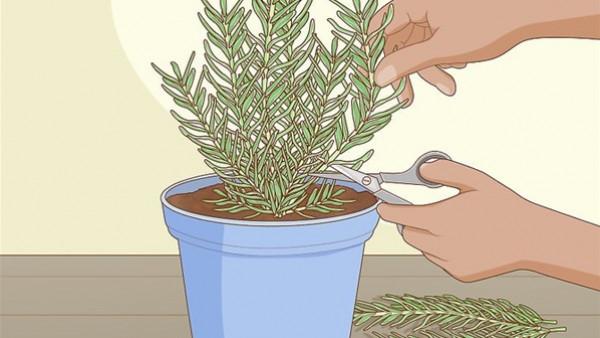 بخطوات سهلة وبسيطة.. كيفية زراعة الروز ماري في المنزل