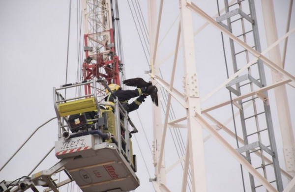 الدفاع المدني السعودي ينقذ صقرًا علق في برج اتصالات