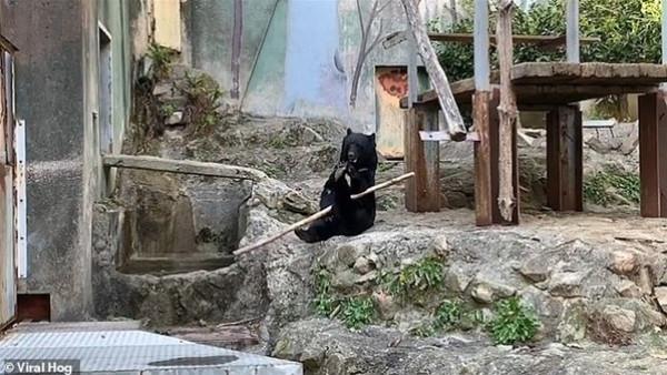 شاهد: دب تلعب كونغ فو داخل قفصها بحديقة حيوان يابانية