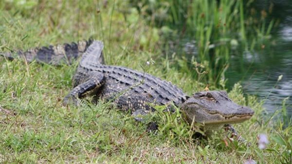 مغامر ينجح في اصطياد وتقييد تمساح طوله 5 أمتار