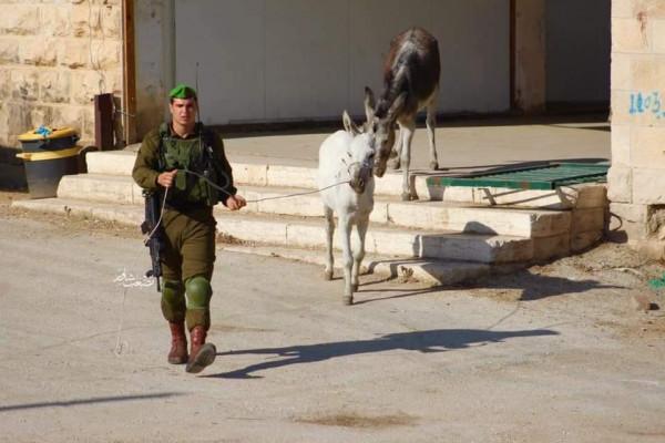 صور: جنود الاحتلال يطاردون (الحمير) بالخليل