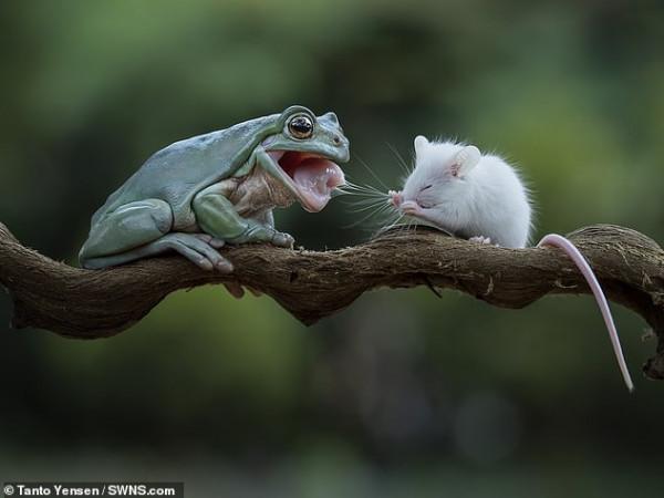 لا طاقة للقتال.. مشهد مذهل بين فأر وضفدع
