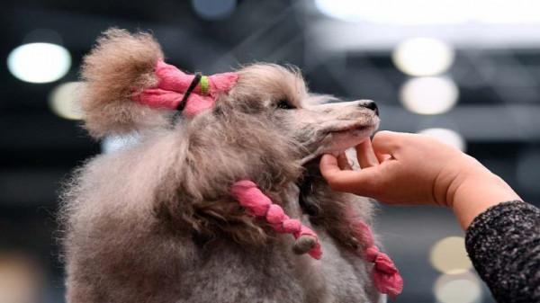 مسابقة لجمال الكلاب في السودان