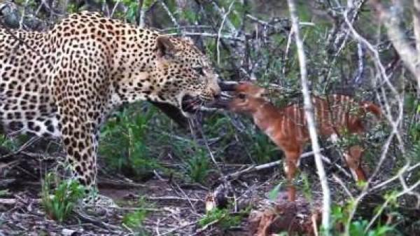 لقطات نادرة لظبي يهاجم فهدا في إحدى حدائق جنوب أفريقيا