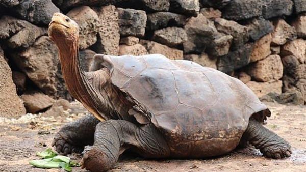 سلحفاة تنجب 2000 صغير وتنقذ فصيلتها من الانقراض