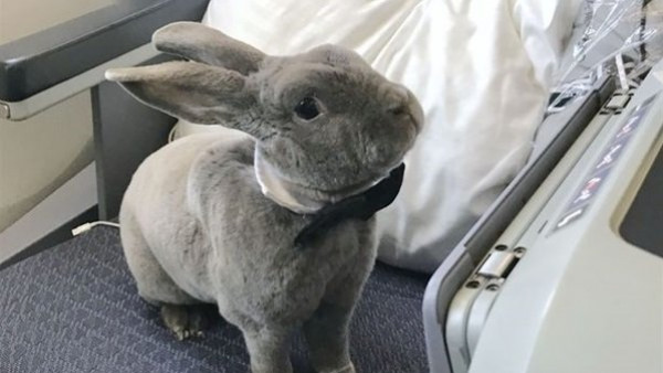 """مسافر في درجة رجال الأعمال.. الأرنب """"كوكو"""" الأكثر حظا بين الحيوانات"""