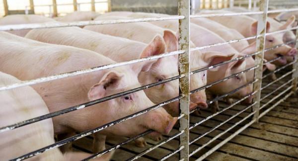 خنازير تأكل صاحبها في مزرعة بولندية