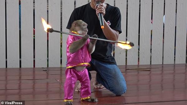 حديقة حيوان تجبر قرود على اللعب بالنار فى تايلاند ومنظمة بيئية تلاحقها