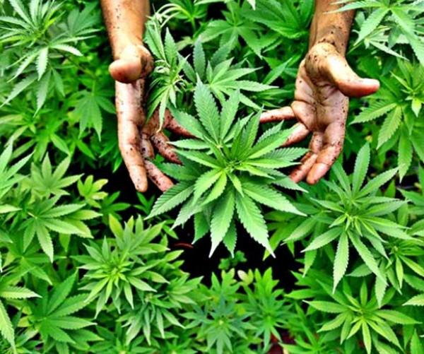 السجن عشر سنوات لمدان بتهمة زراعة المخدرات في نابلس