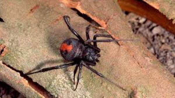بعد الحرائق والفيضانات.. (عناكب) مميتة تنتشر في أستراليا