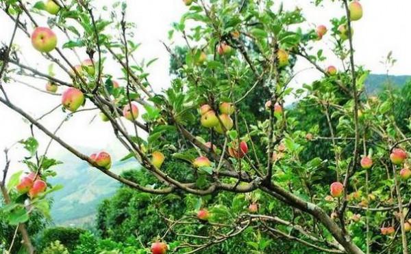 شاهد الشجرة المعجزة.. تنتج 40 نوعاً من الفاكهة في نفس الوقت