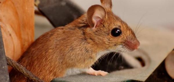 إعجاز علمي.. لماذا أمر الرسول بقتل الفأر؟