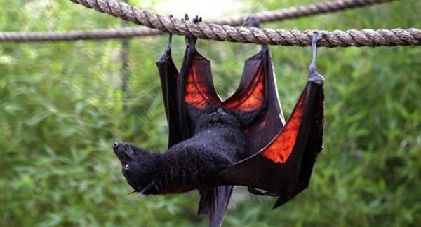 """رغم انتشار """"كورونا""""..الخفافيش تُباع بشكل طبيعي في هذه الدول"""