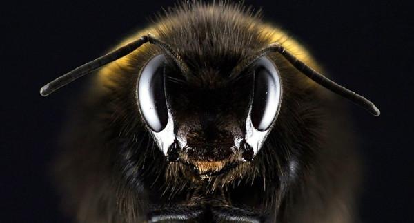 عمرها 99 مليون عام... العثور على أقدم نحلة في التاريخ