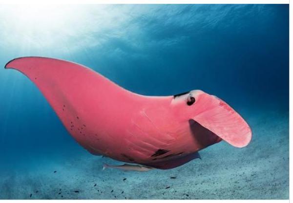 """اكتشاف مدهش ل""""شيطان البحر"""" الوردي الوحيد في العالم"""