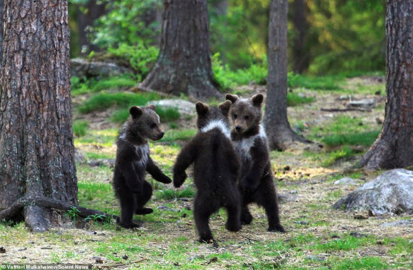 دببة صغار ترقص فى غابة وسط مراقبة الأم