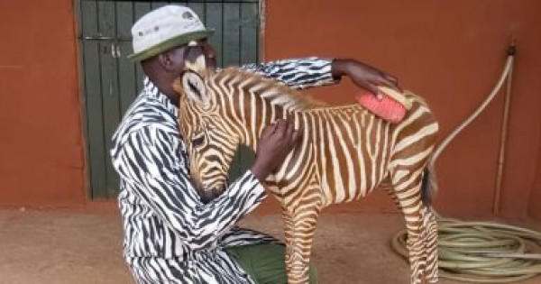 عمال بمنظمة تهتم بالحياة البرية في كينيا يرتدون زي (الحمار الوحشي)