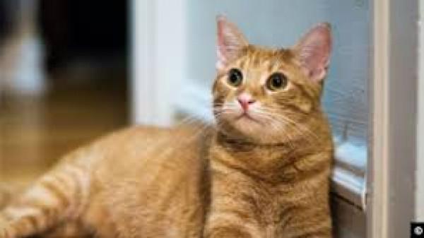 (كورونا) يواصل فتكه.. قطة تصاب بالفيروس بسبب مالكها