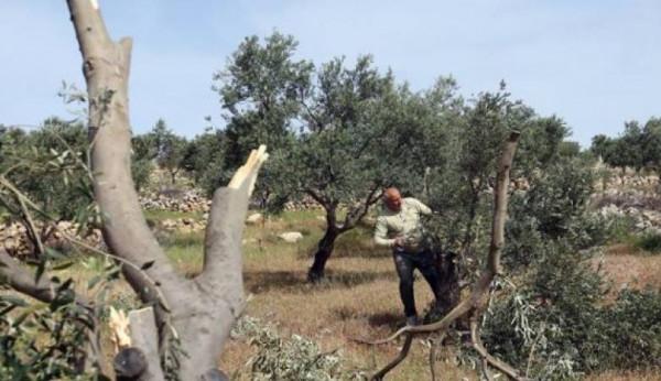 مستوطنون يقطعون مئات أشجار الزيتون شرق الخليل