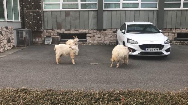 قطعان الماعز البري تغزو شوارع ويلز بعد الحجر الصحي