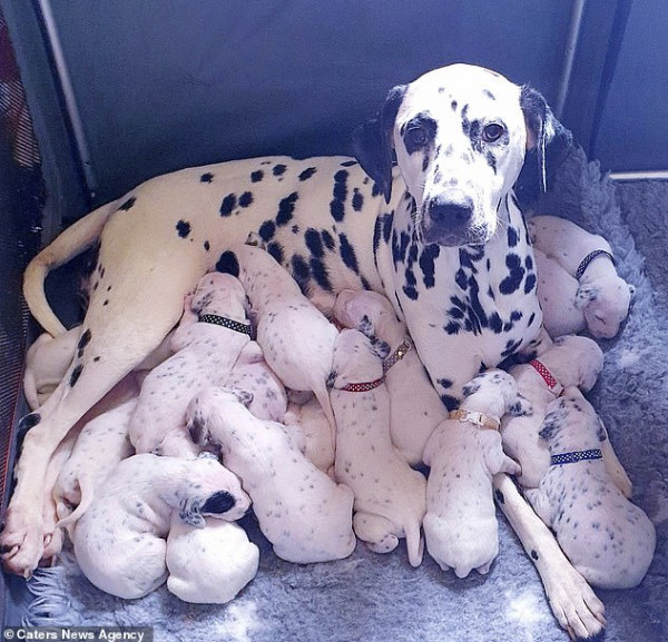 كلبة دلميشن تنجب 18 جرواُ خلال 14 ساعة