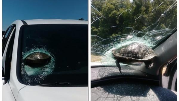 حادث لا يُصدق.. سلحفاة تخترق سيارة على طريق سريع