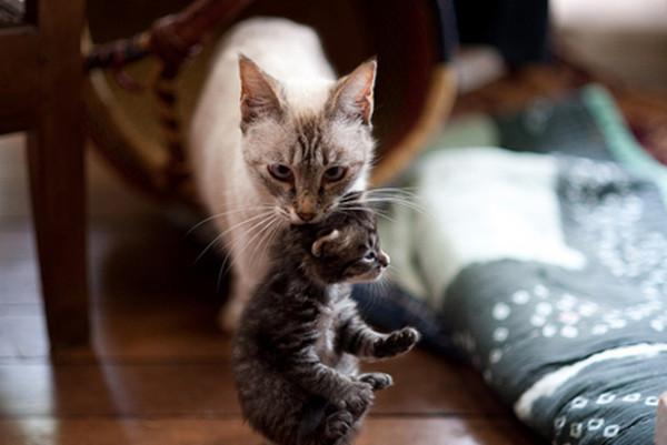 """""""لماذا تأكل القطة أطفالها"""".. إليك خمسة أسباب علمية"""
