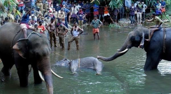 غضب في الهند بسبب طريقة وفاة أنثى فيل حامل