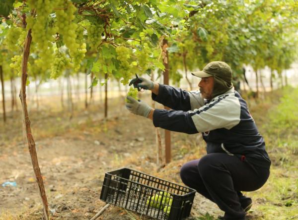 مزرعة الدالية في الأغوار تطرح باكورة محصولها بعد ثلاث سنوات من الاستثمار
