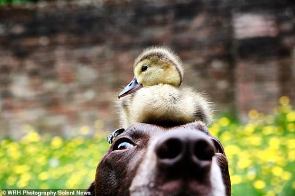صداقة غربية بين كلب وبطة في بريطانيا
