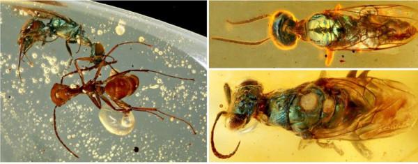 تدب فيها الحياة.. الكهرمان يحفظ مخلوقات عاشت قبل 99 مليون عام