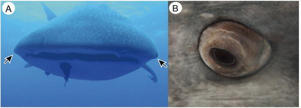 هل تأكل من أعينها؟ العثور على أسنان داخلها لدى القرش الحوتي