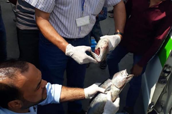 """صورة: إتلاف 50 كجم سمك """"بلاميدا"""" ظهرت عليه علامات فساد بخانيونس"""