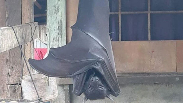 خفاش بحجم الإنسان يثير الذعر