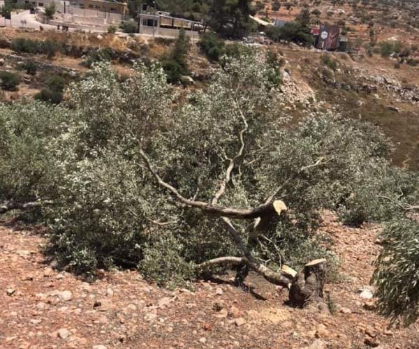 صور.. قوات الاحتلال تقتلع أشجار زيتون لصالح طريق استيطاني جنوب نابلس