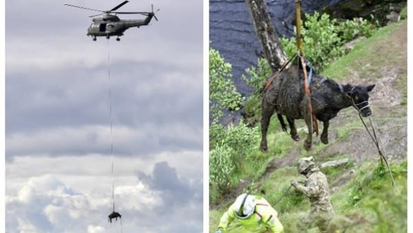 أغرب عملية إنقاذ لبقرة بعد تعرضها لحادث