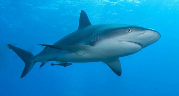 """اكتشاف نوع جديد من أسماك القرش """"يمشي"""""""