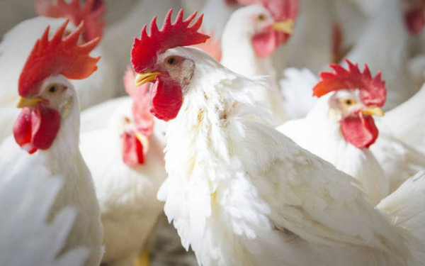 كيف جاءت أسعار الدجاج في ثاني أيام عيد الأضحى؟