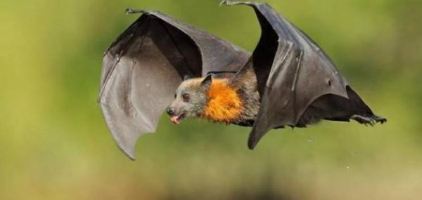 علماء يكتشفون نوعًا جديدًا من الخفافيش