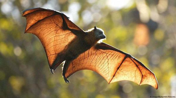 فيروس جديد مصدره الخفاش يهدد البشر