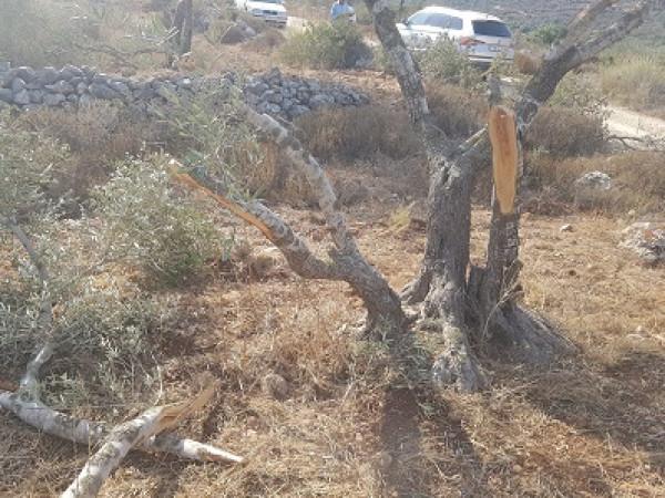 صور.. مستوطنون يقطعون عشرات أشجار الزيتون جنوب نابلس