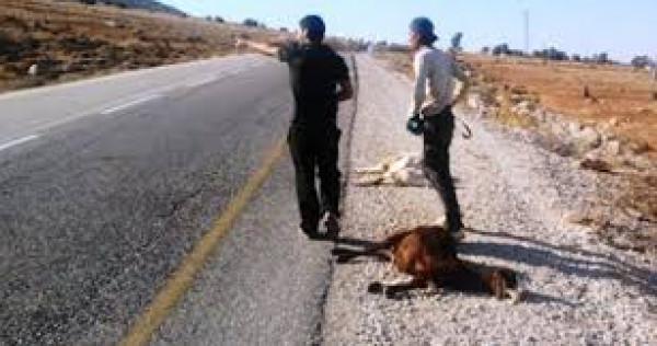 نفوق تسعة رؤس أغنام في اعتداءات مستوطنين بقلقيلية