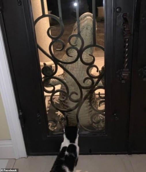 بطريقة مرعبة.. تمساح هائل يطرق باب منزل عائلة